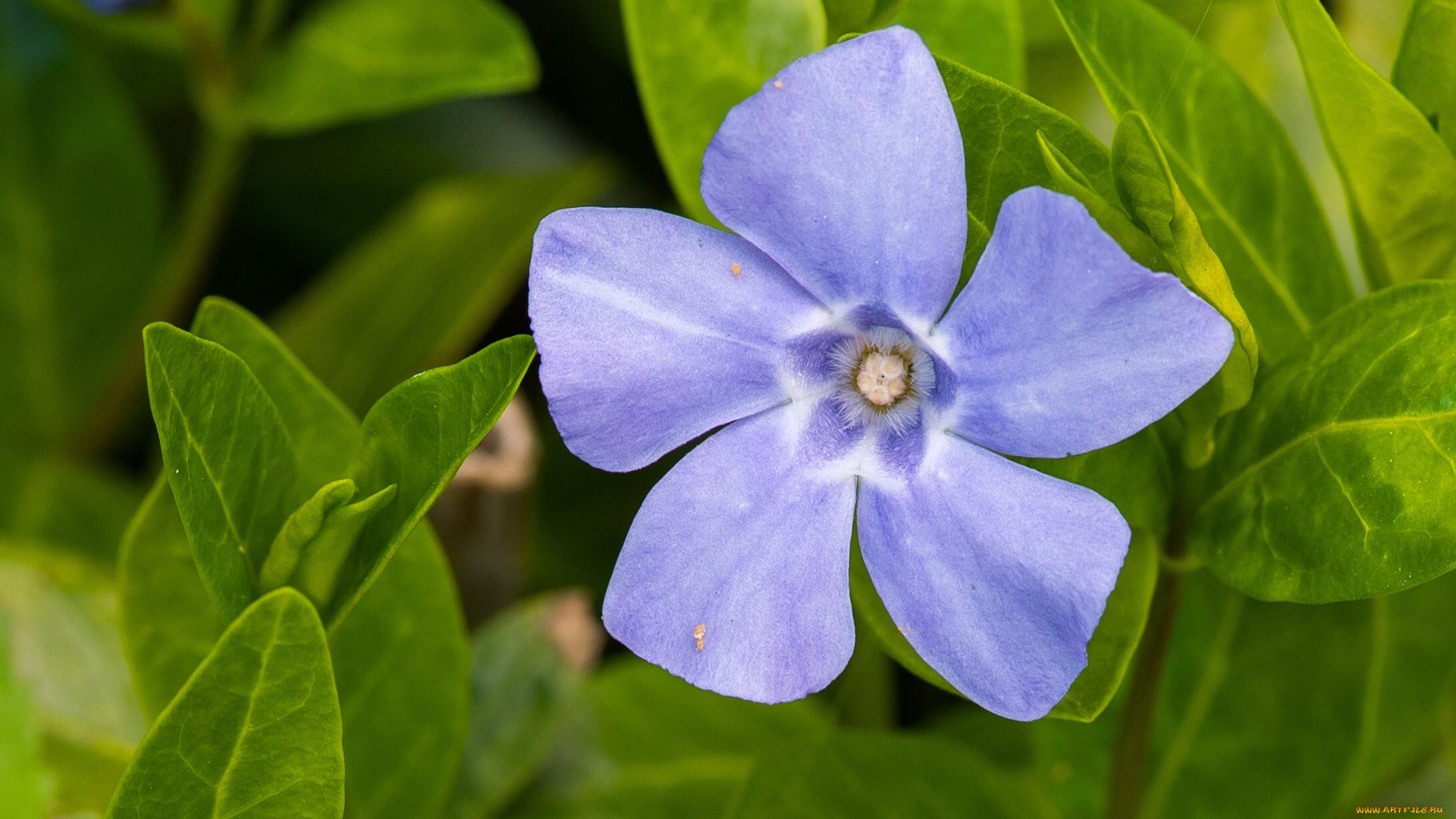 Фрезии цветы холодный фарфор картинки венозной
